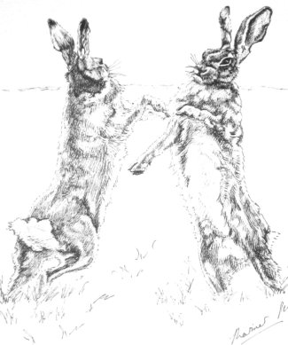 Boxing hares, pen and ink